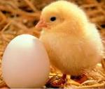 Bagian Telur Mana Yang Akan Menjadi Anak? Kuning Telur Atau Putih =?utf-8?q?telur=e2=80=a6=3f=3f=3f?= [ www.BlogApaAja.com ]